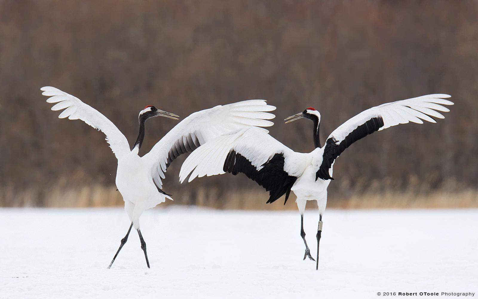 Red-Crowned cranes Circling Display