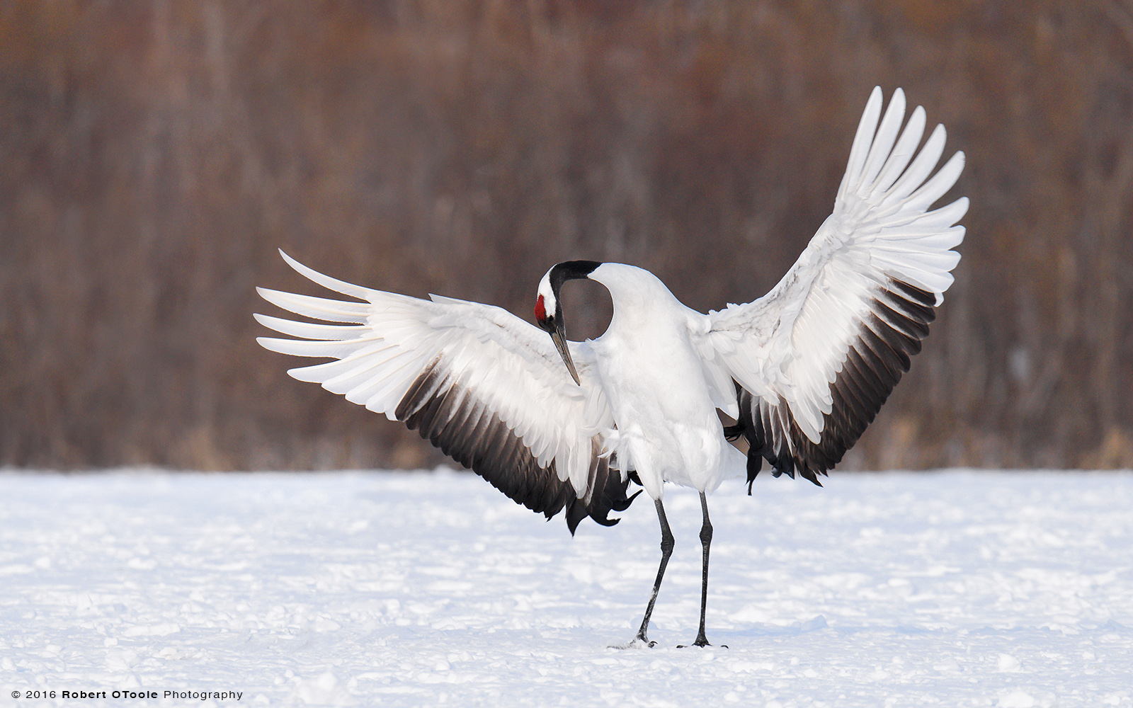 Red-Crowned Crane Displaying Red Patch