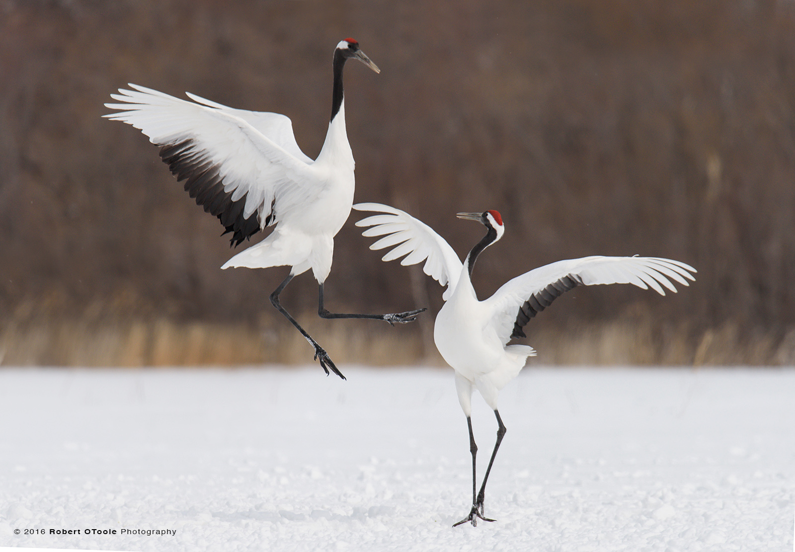 Pair of  Adult Red-Crowned Cranes Dancing on Snow