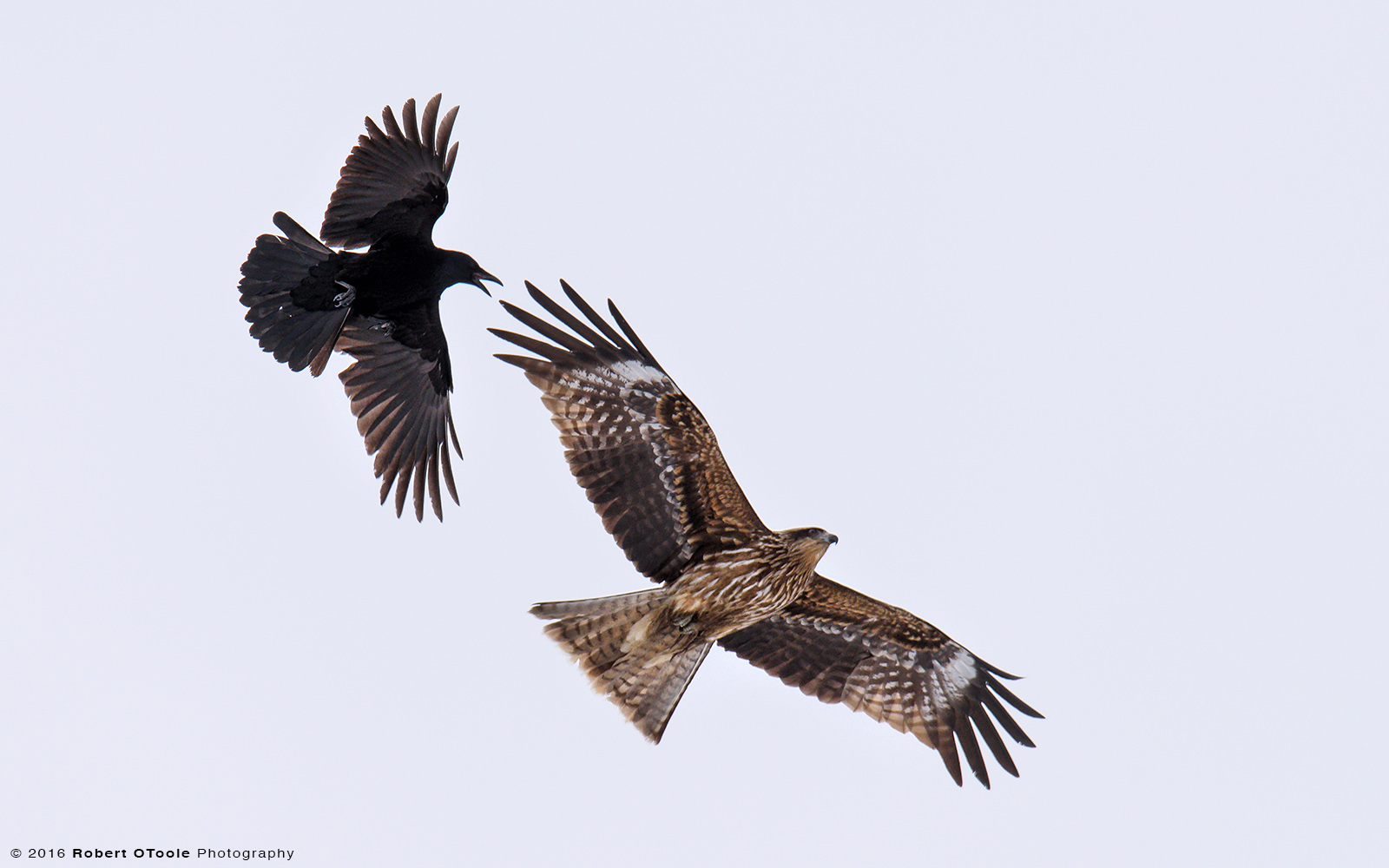 Kite Being Harassed by a Crow