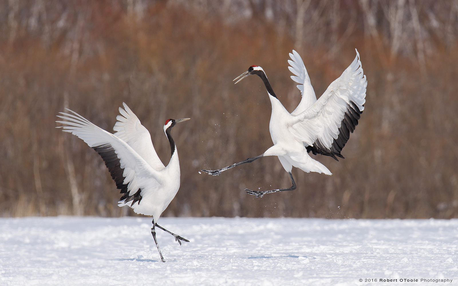 Red-Crowned Cranes Mating Dance