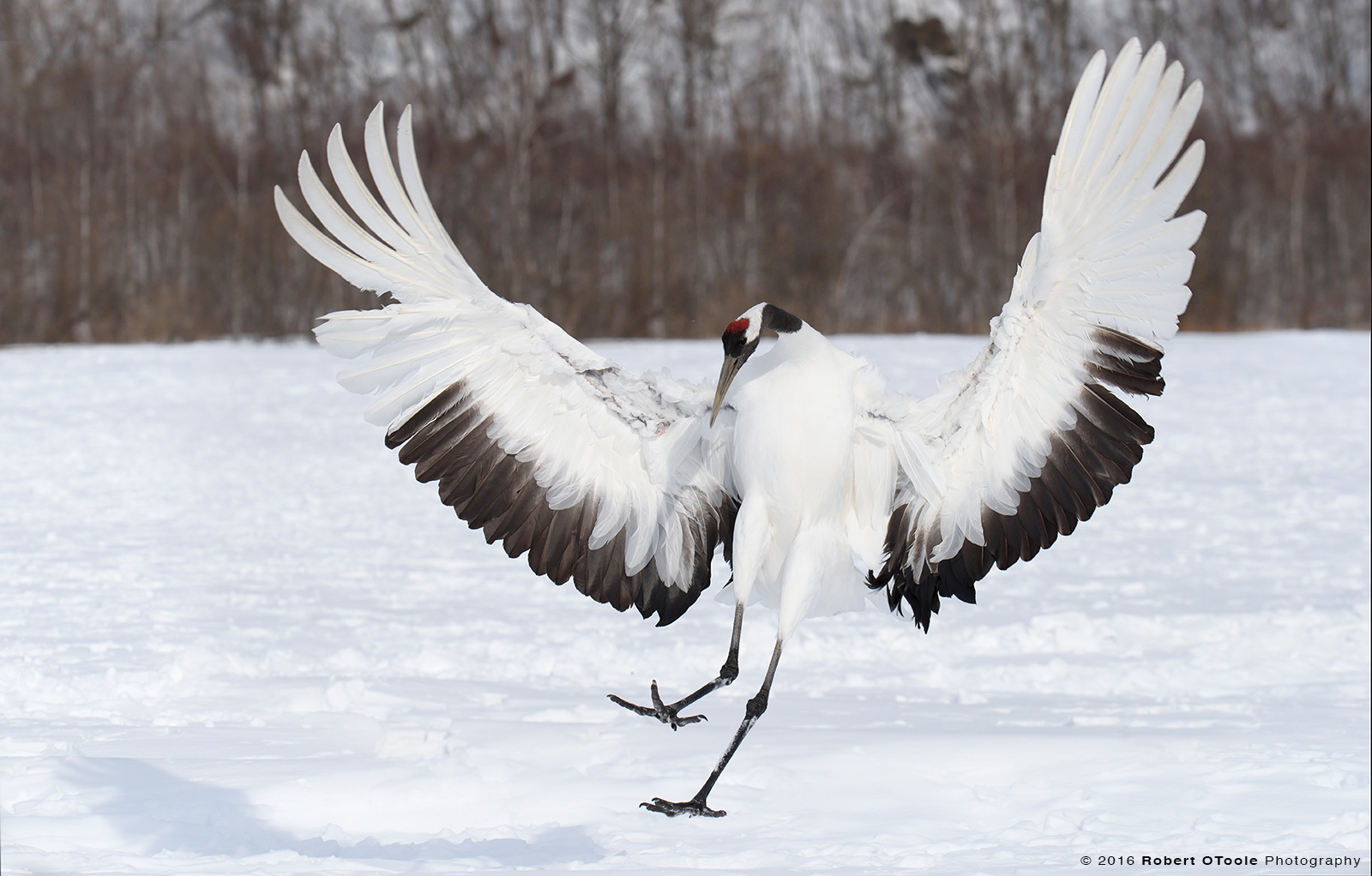 Red-Crowned Crane Landing on Snow with Wings out
