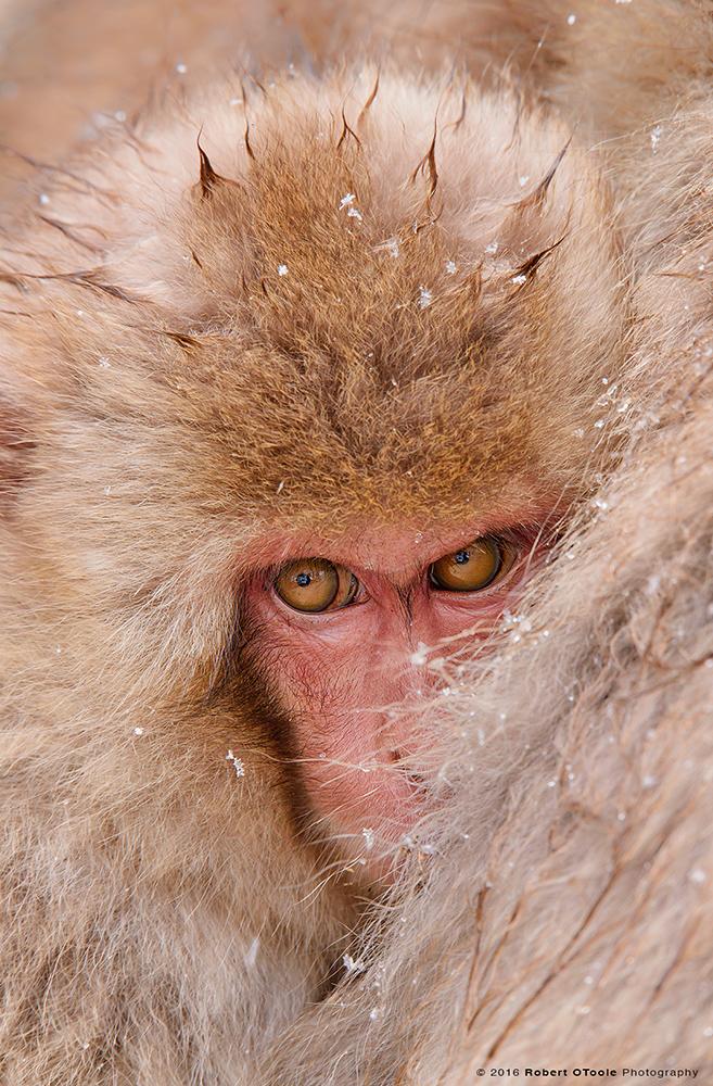 Snow Monkey Baby Cuddling to Keep Warm