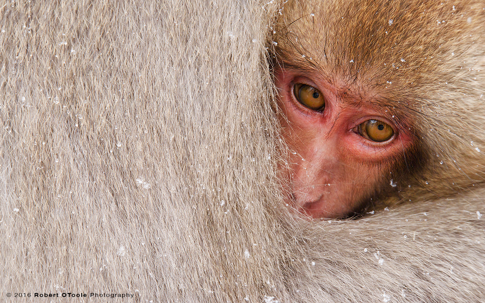 Japanese Macaque Baby Cuddling to Stay Warm