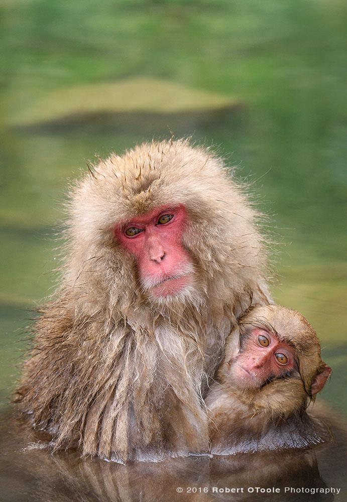Snow Monkeys In Natural Hot Spring Pool