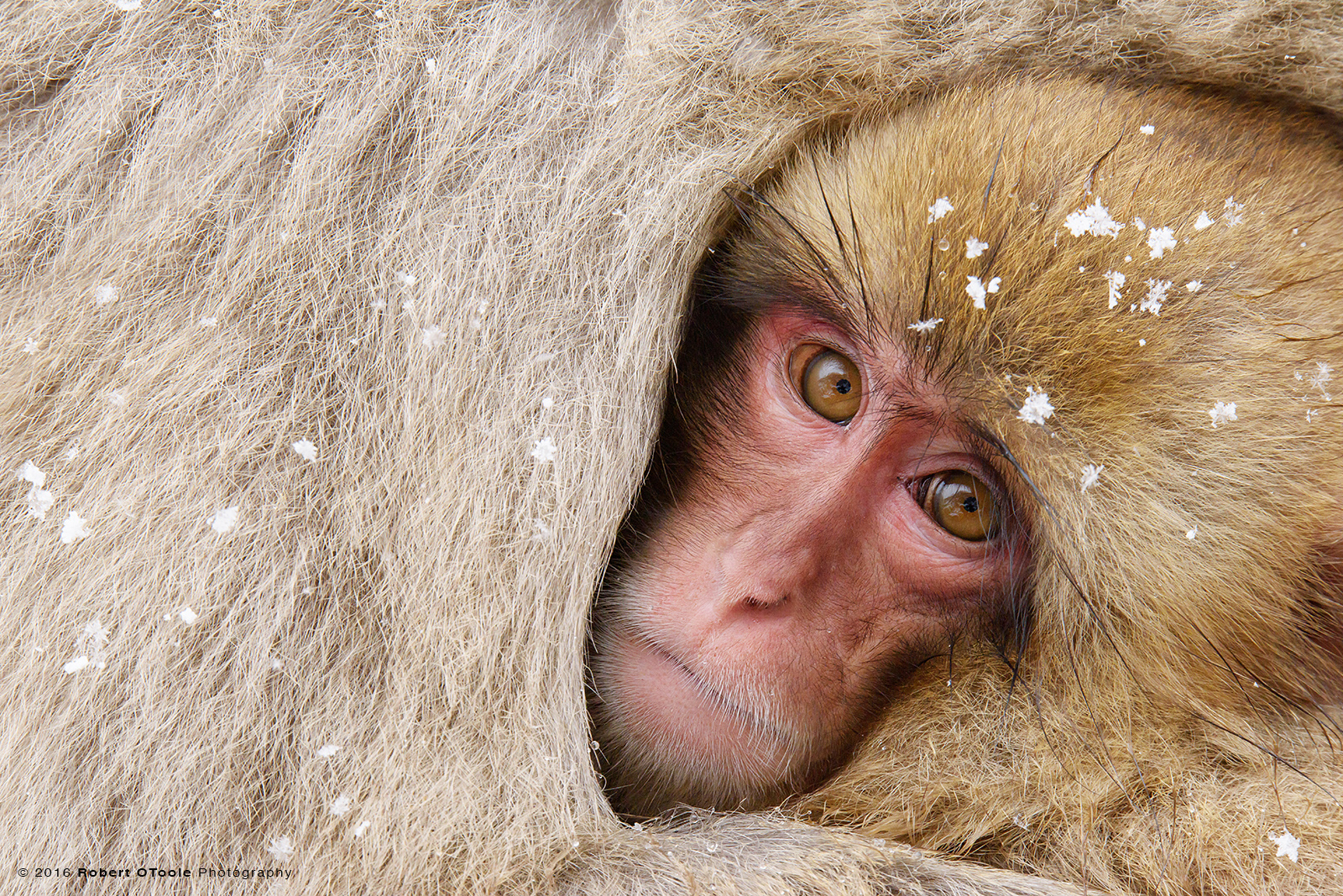 Snow Monkey  Baby Cuddling with Parent to Keep Warm