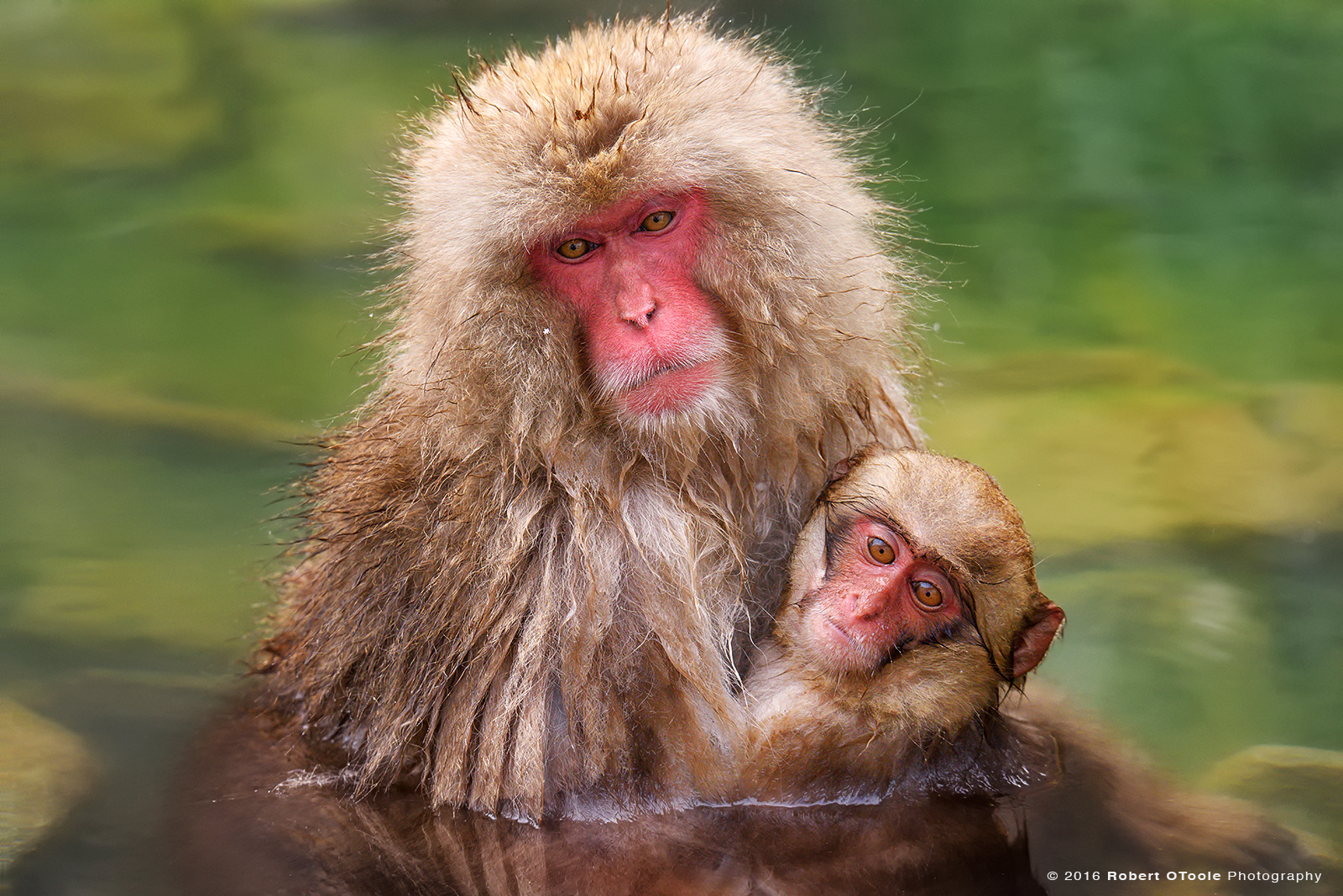 Snow Monkey Pair Enjoying the Hot Green Spring
