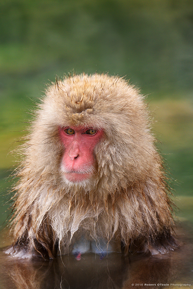 Japanese Macaque Female in Hot Green Spring