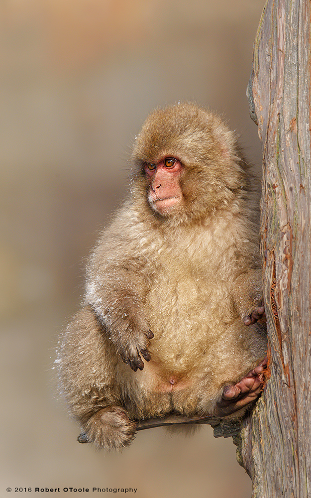 Japanese Macaque Baby Sitting on Branch Looking Like aTeddy Bear