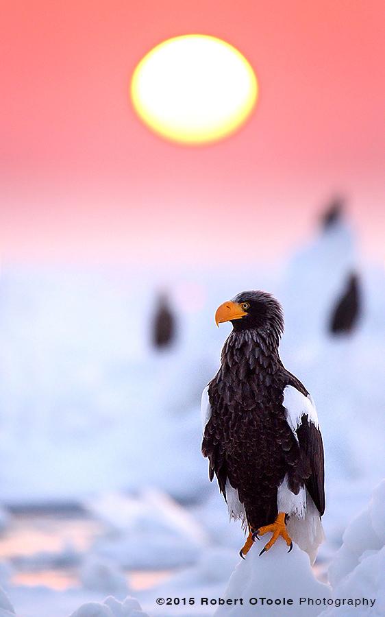 Stellers Sea Eagle Perched on Sea Ice
