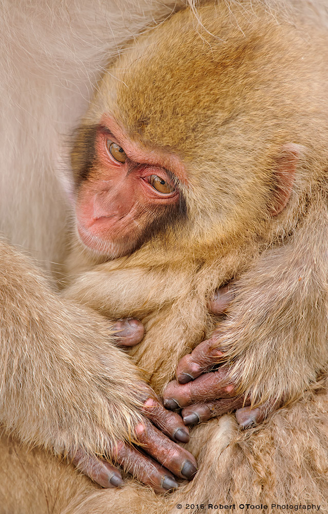 Japanese Macaque Baby and Parent Hands