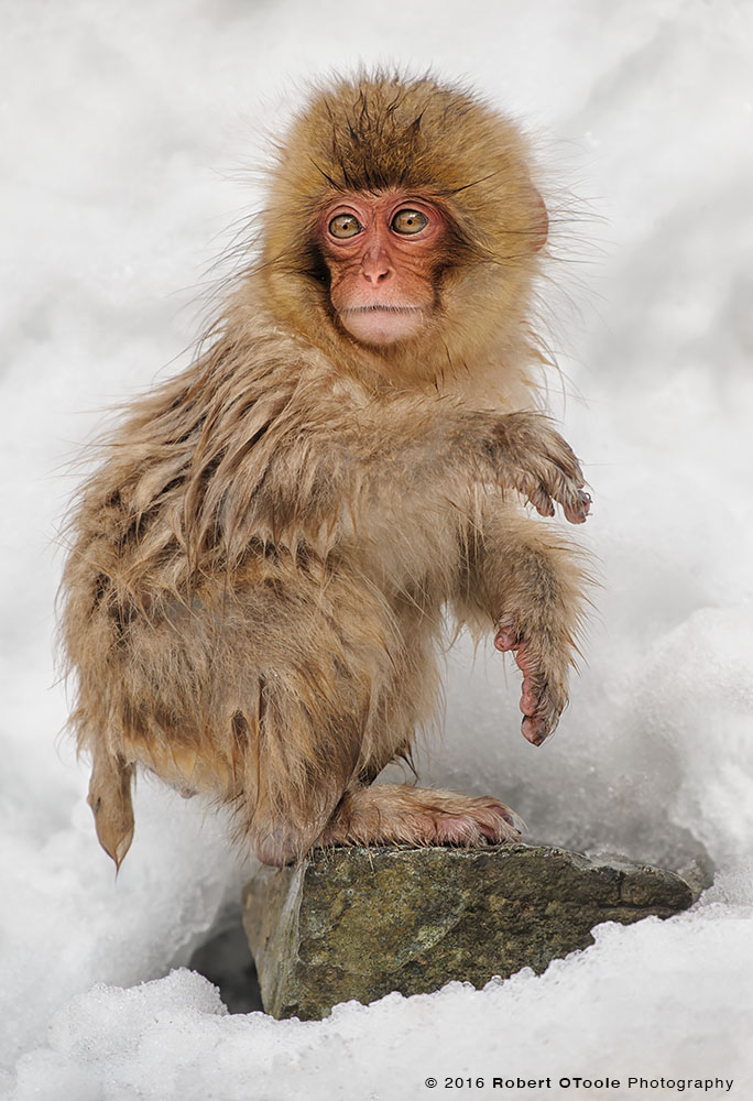 Japanese Macaque Baby Sitting on Rock Trying to Stay Warm