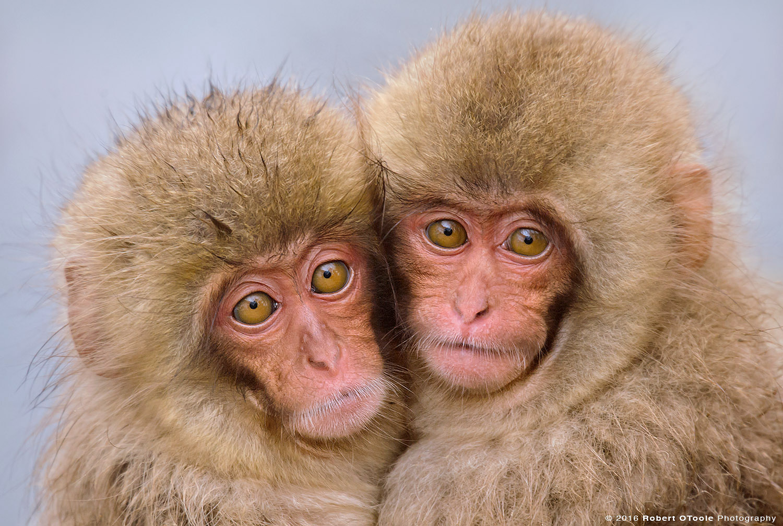 Japanese Macaque Babies Cuddling