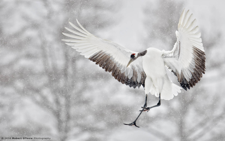 Red-Crowned Crane Adult Landing in Snow