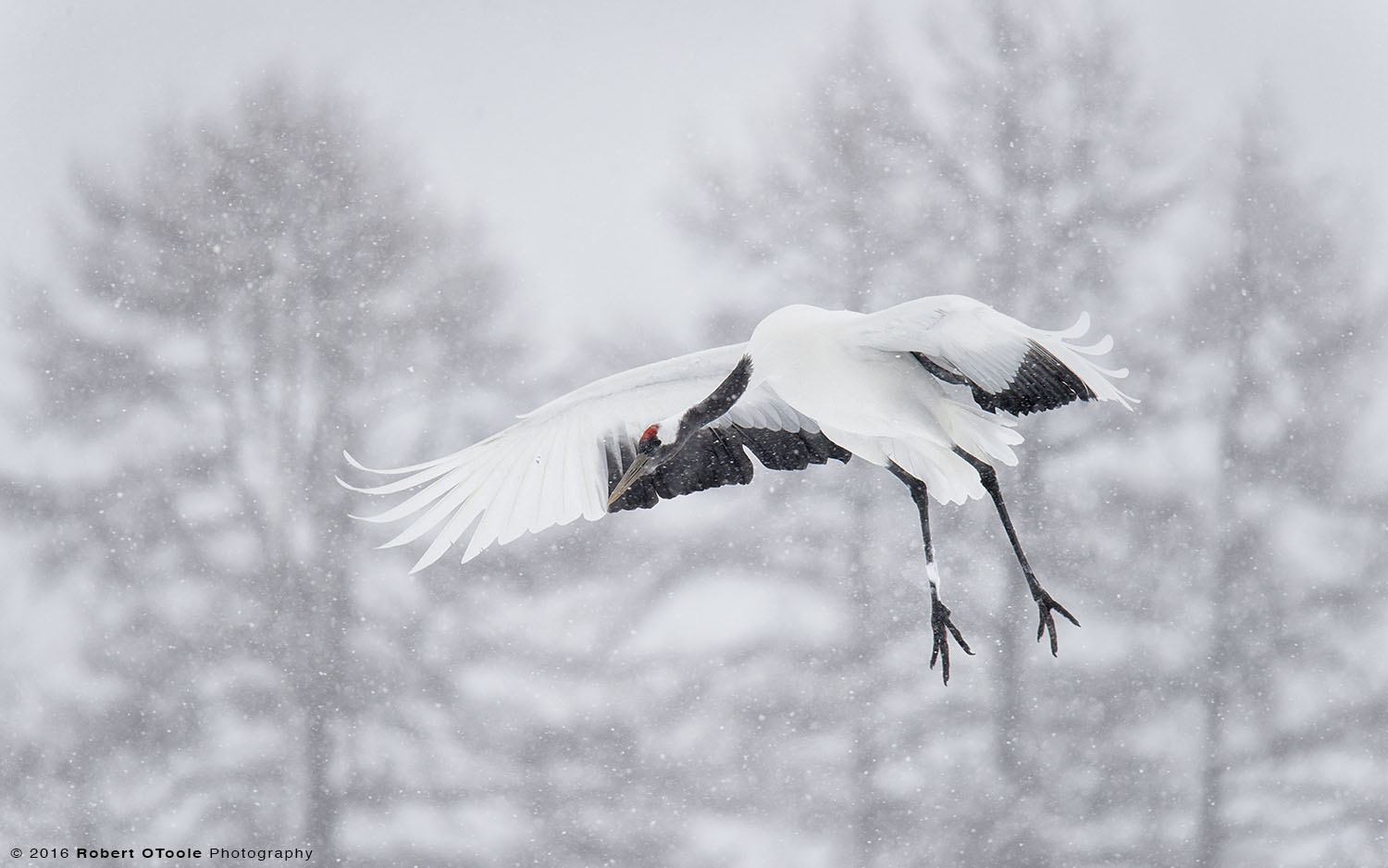 Japanese Red-Crowned Crane Landing on Heavy Snow