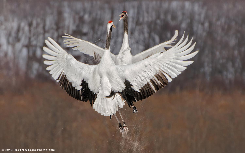 Japanese Red-Crowned Cranes  Pair Fighting