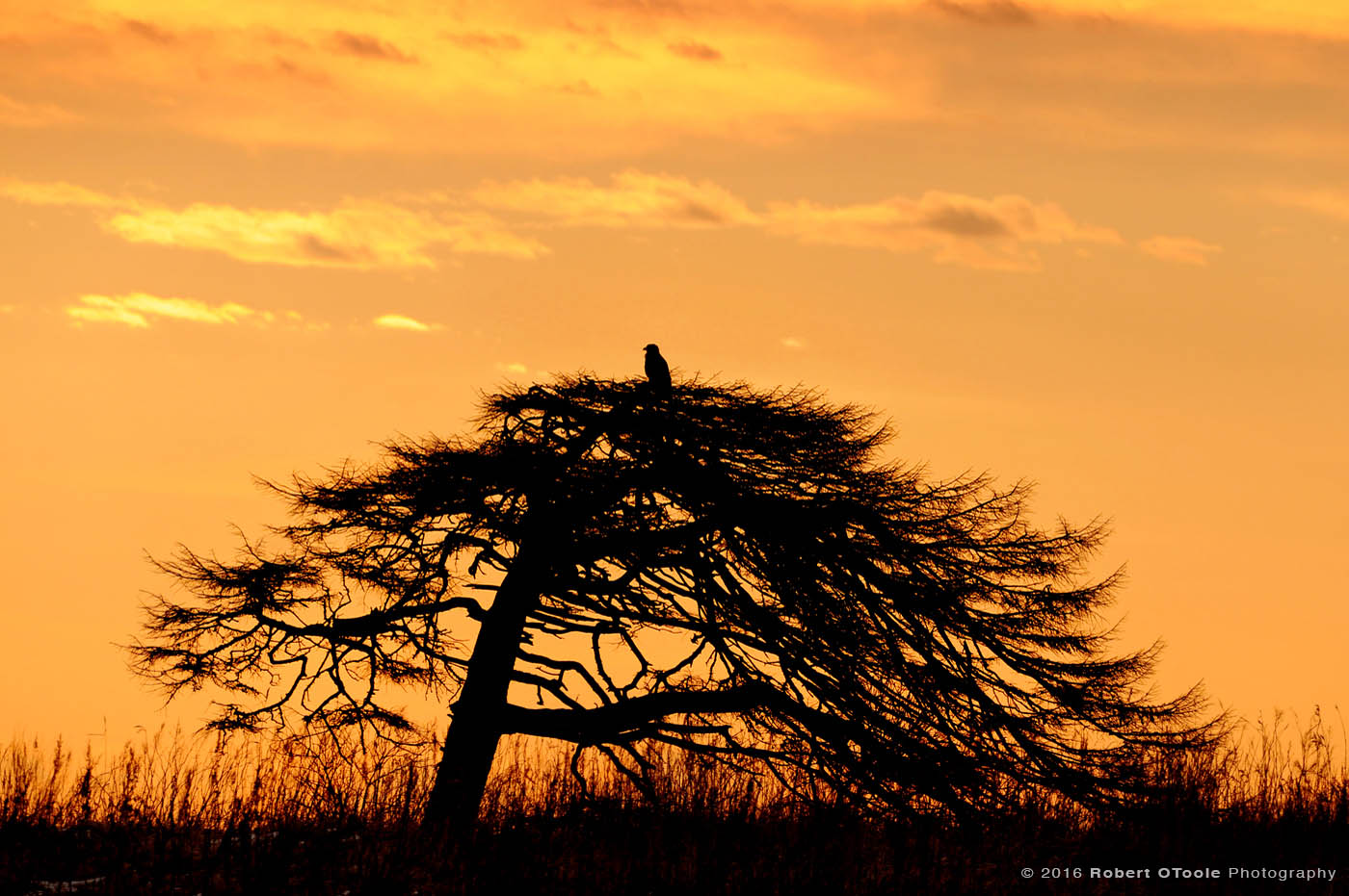 Perched Raptor at Sunset