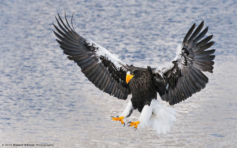Steller's Sea Eagle against Blue Water