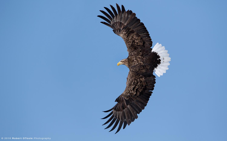 White Tailed Eagle Banking