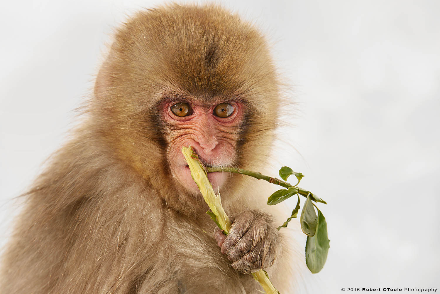 Japanese Macaque Baby Munching on Green Branch