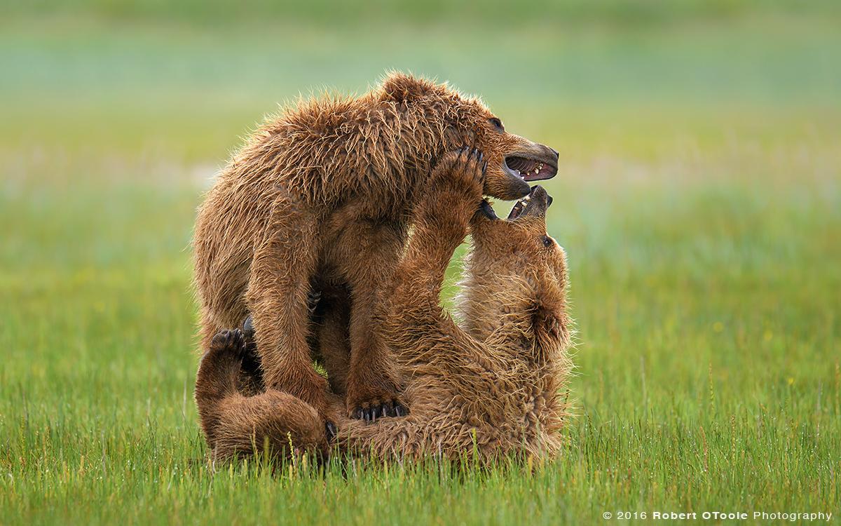 Bear-cub-siblings-Katmai-Alaska-Robert-OToole-Photography-2016