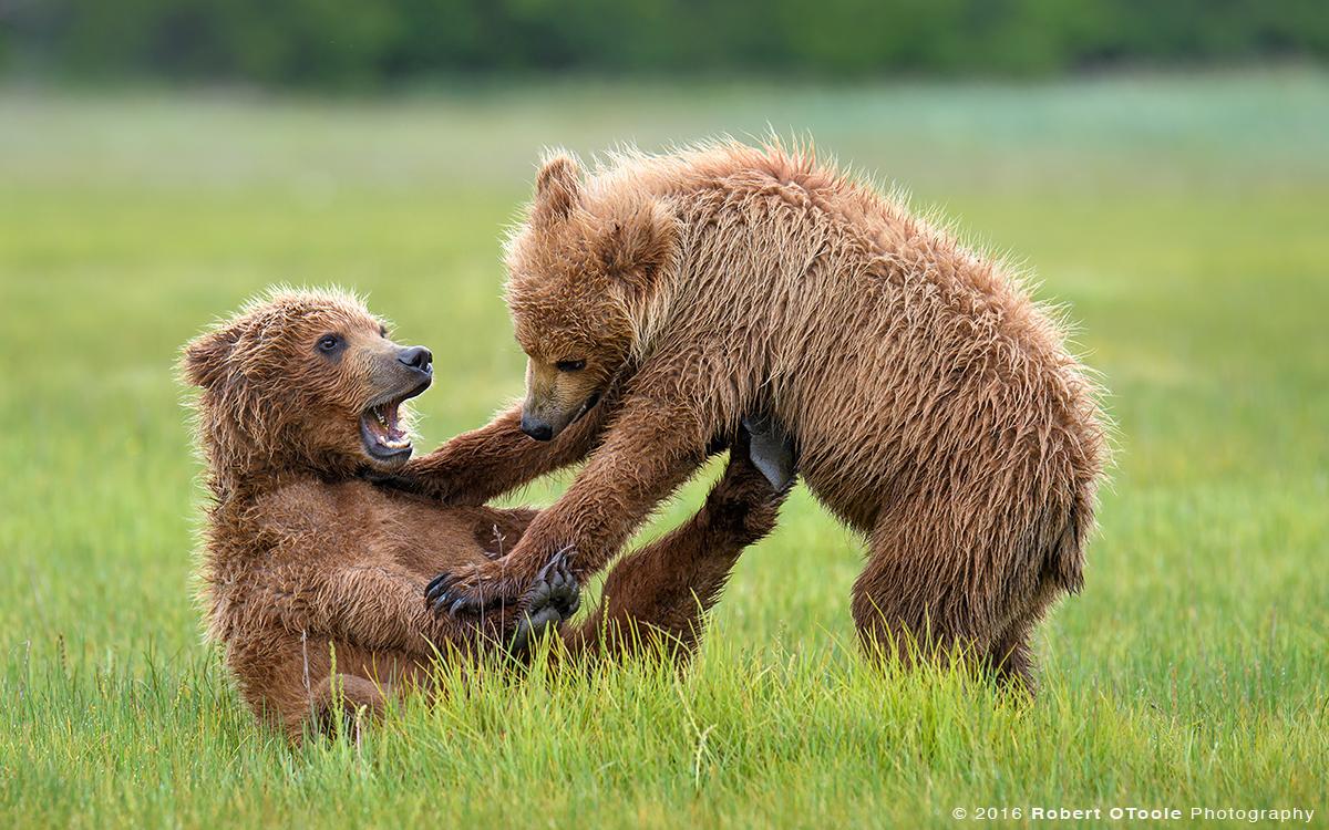 Bear-cubs-Katmai-Alaska-Robert-OToole-Photography-2016
