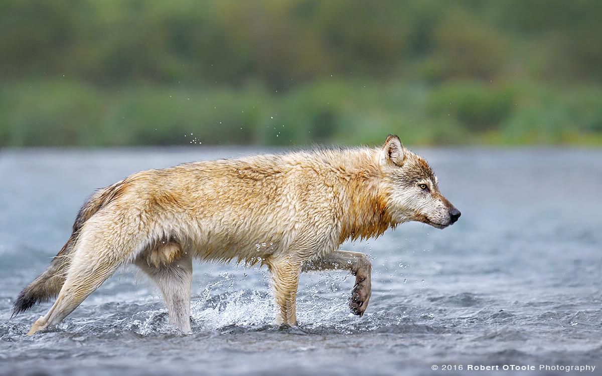 Wolf-at-Geographic-Alaska-August-2016.jpg