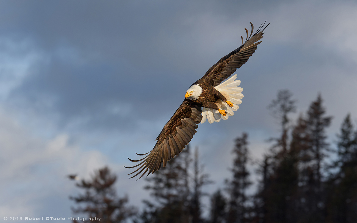 Eagle-dark-morning-Alaska-Robert-OToole-Photography-2016