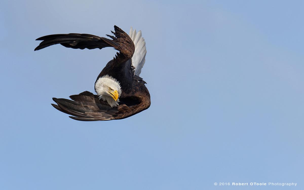 Eagle-tight-Alaska-Robert-OToole-Photography-2016