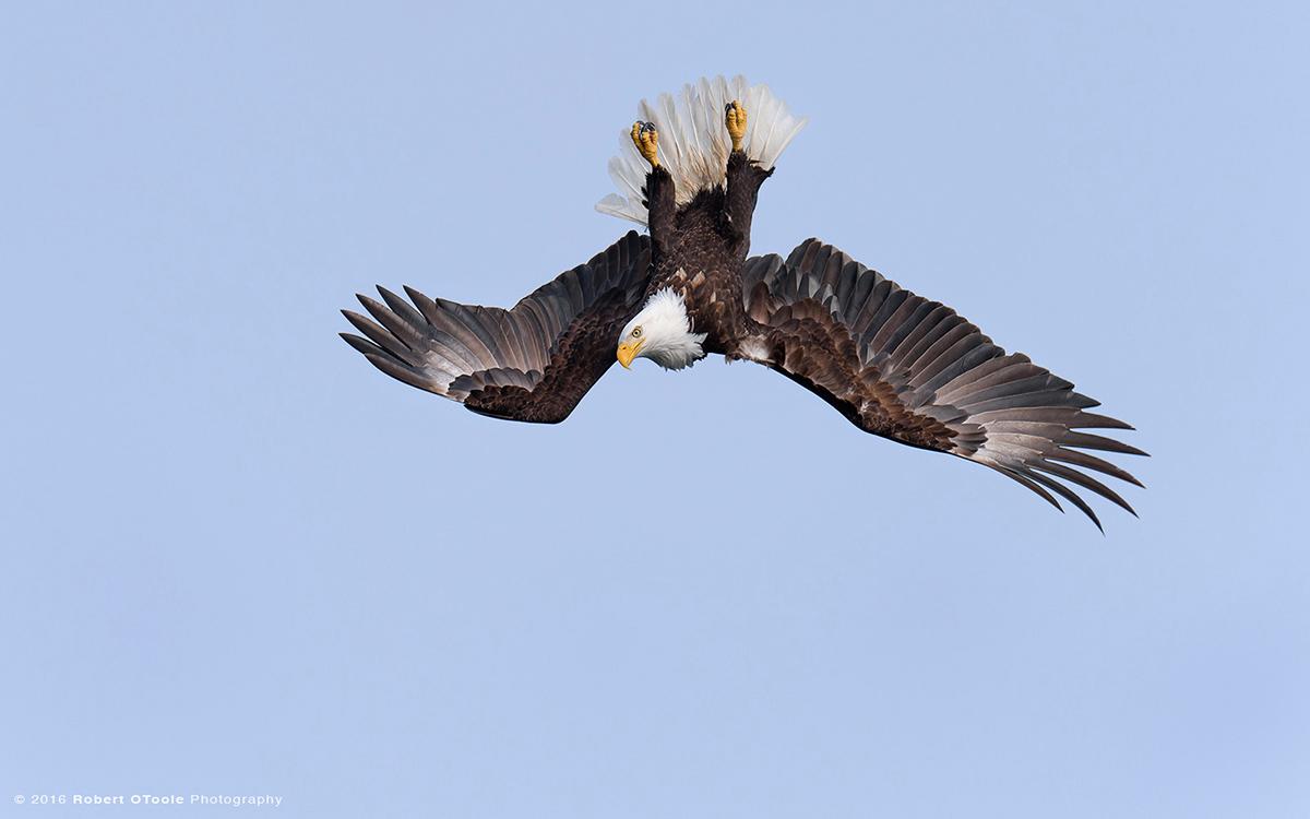 Inverted-dive-eagle-Alaska-Robert-OToole-Photography-2016