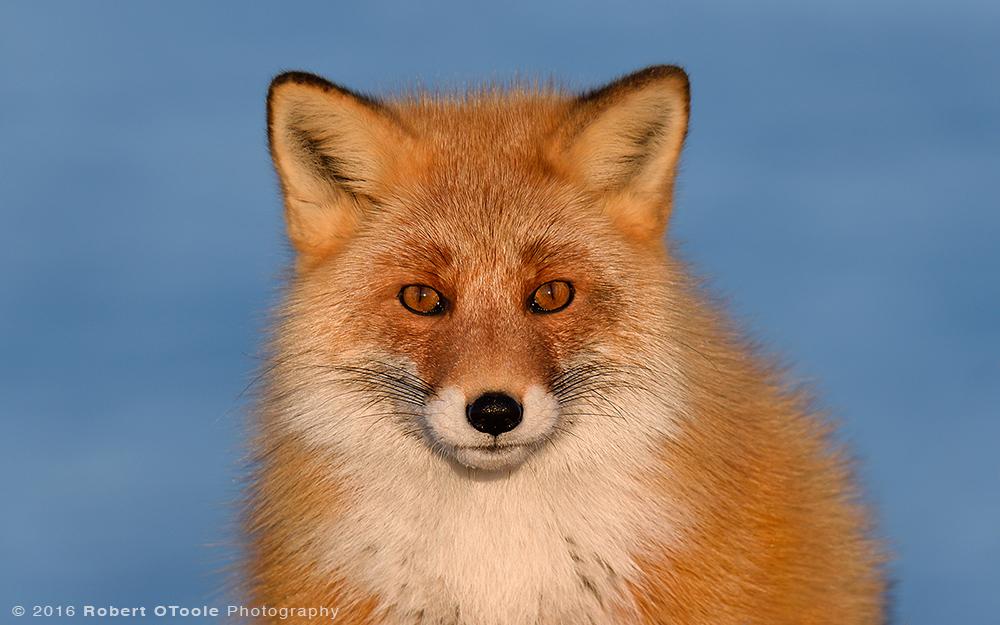 Hokkaido-red-fox-Japan-Robert-OToole-Photo-2016