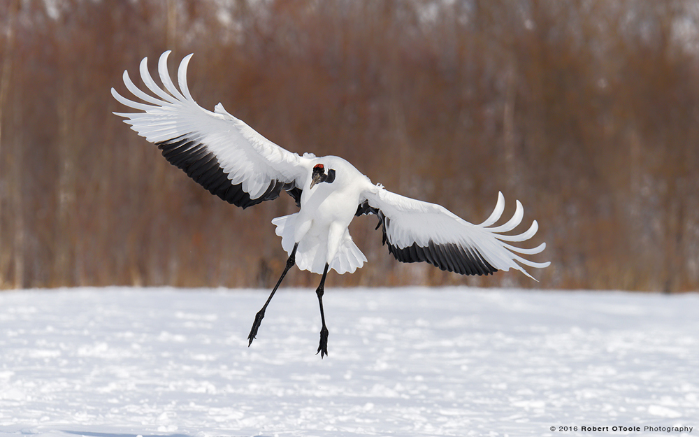 Japanese-red-crowned-cranes-Swoop-Japanese-red-crowned-crane-Japan-Robert-OToole-Photo-2016