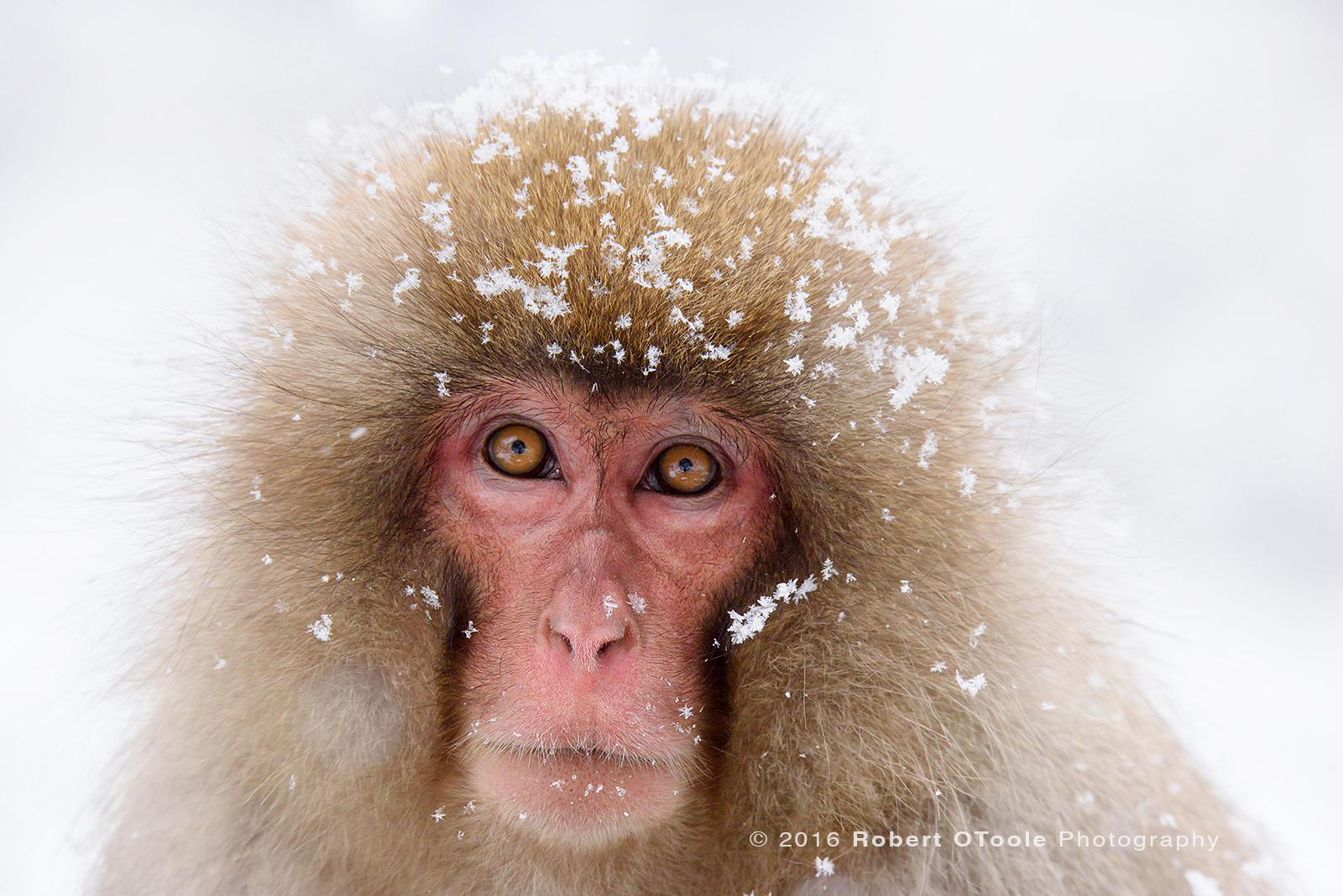 Japanese-snow-monkey-flake-portrait-Japan-Robert-OToole-Photo-2016
