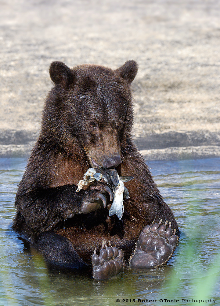 Brown-bear-cub-with-salmon-Alaska-2015-Robert-OToole-Photography