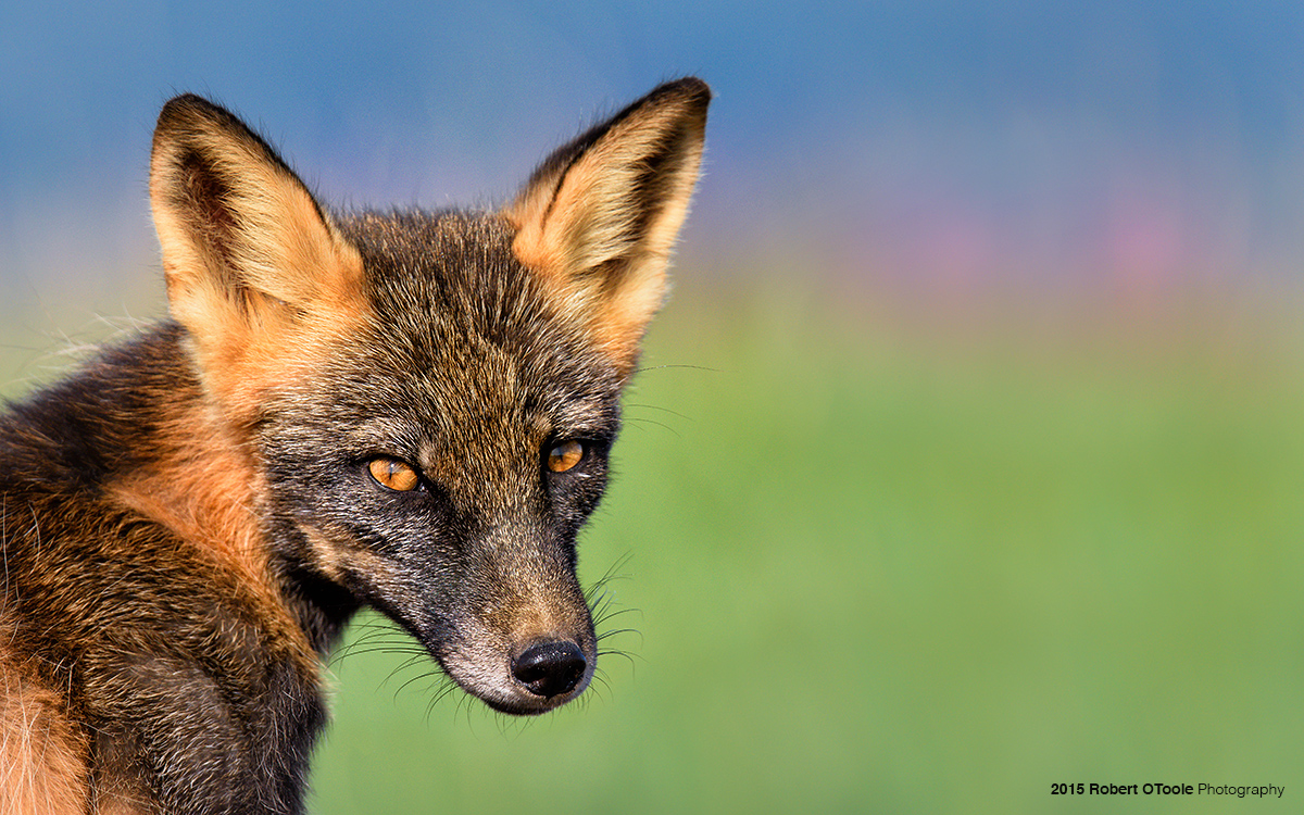 Cross-fox-Katmai-Alaska-2015-Robert-OToole-Photography