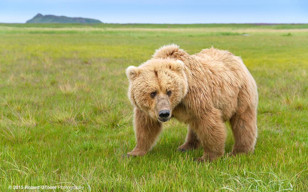 Bear-mom-wide-angle-Hallo-Bay-Alaska-Robert-OToole-Photography-2015
