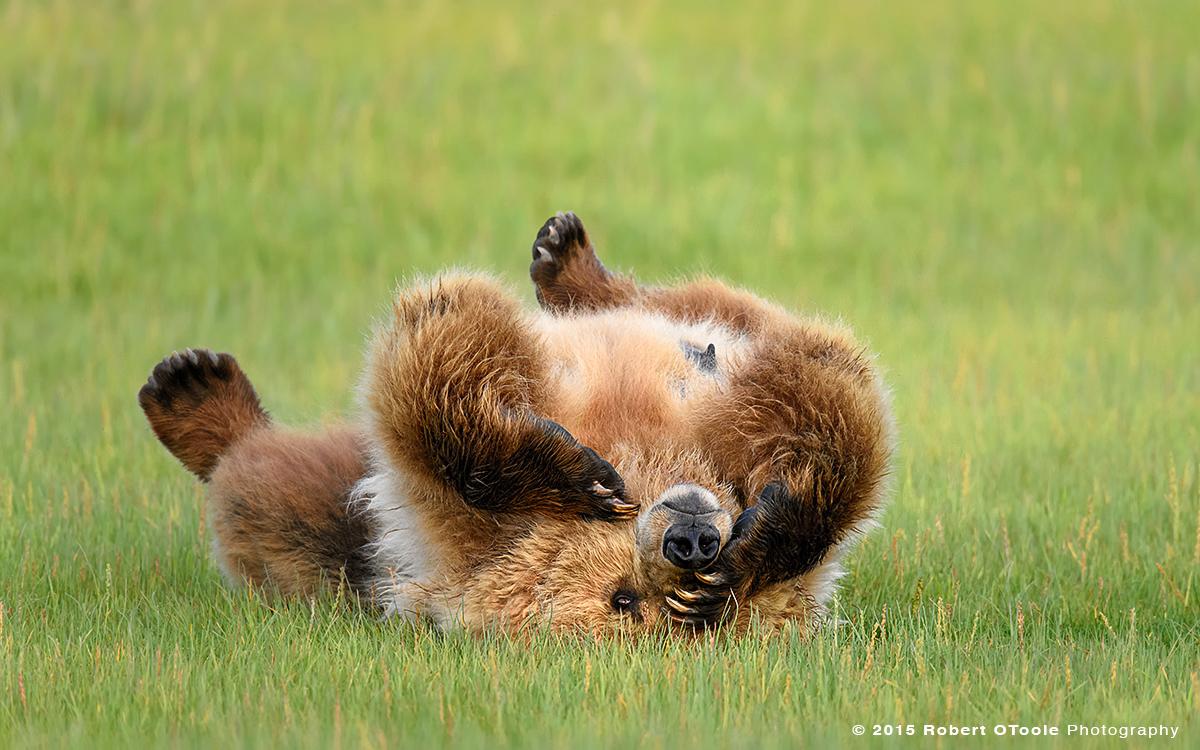 Brown-bear-female-upside-down-hallo-bay-alaska-Robert-OToole-Photography-2015