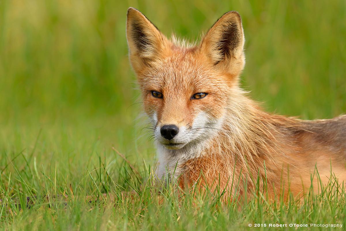Fox-portrait-in-green-grass-Alaska-Robert-OToole-Photography-2015