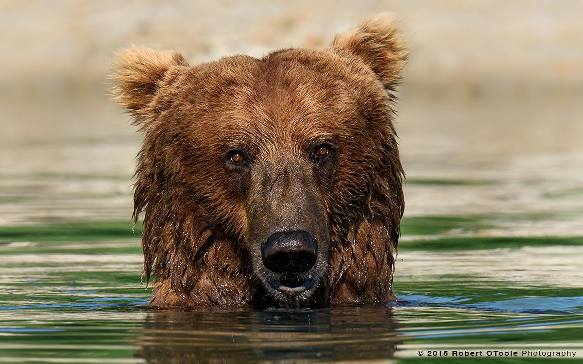 Brown-Bear-portrait-Alaska-Robert-OToole-Photography-2015