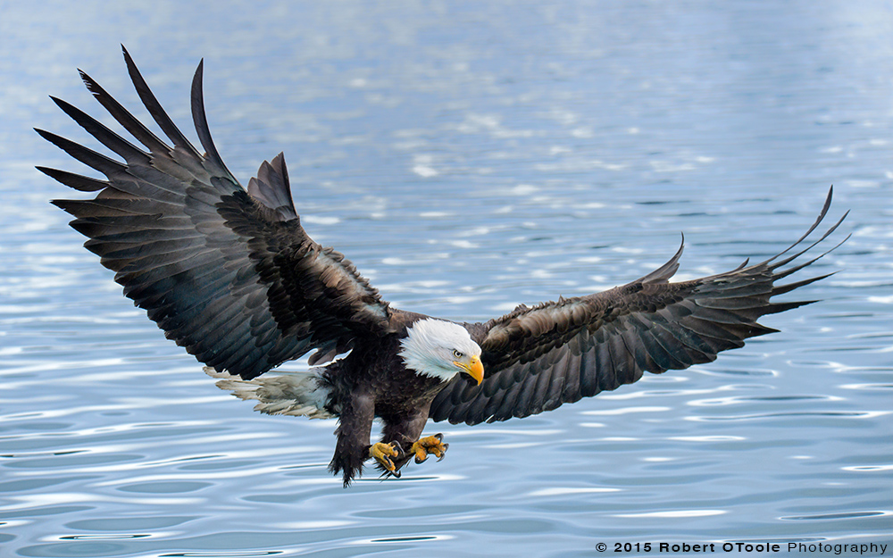 Eagle-and-blue-water-Robert-OToole-Photography-2015