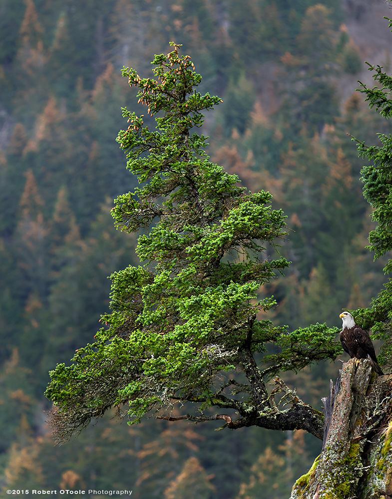 Eagle-next-to-spruce-tree-Robert-OToole-Photography-2015