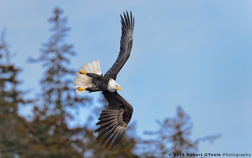 Eagle-banking-against-trees-Alaska-Robert-OToole-Photography-2015