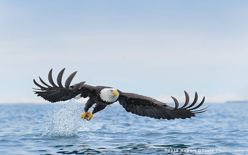 Eagle-strike-at-water-level-Robert-OToole-Photography-2015