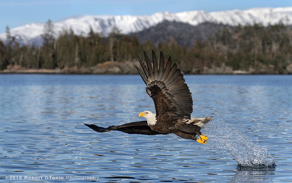 Eagle-wide-angle-blue-water-Robert-OToole-Photography-2015