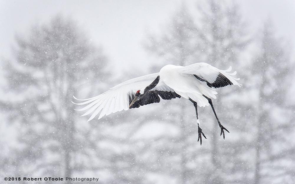 Japan-Crane-landing-in-snow-Robert-OToole-2015