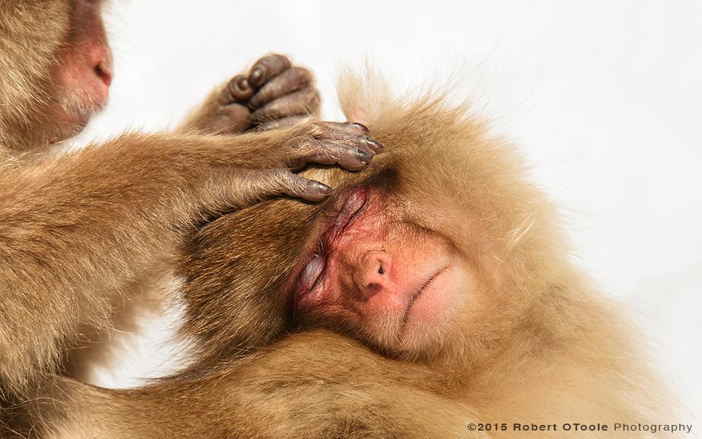 Japanese-snow-monkeys-grooming-Japan-Robert-OToole-Photography-2015