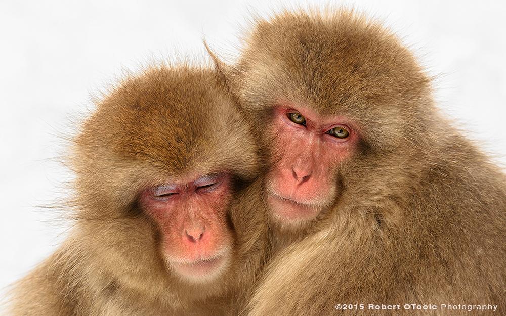 Japanese-snow-monkeys-cuddling-Japan-Robert-OToole-Photography-2015