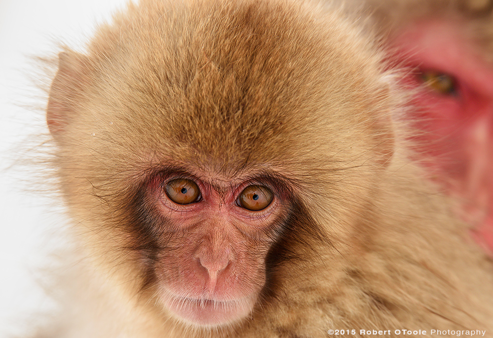 Japanese-snow-monkey-baby-and-sister-Japan-Robert-OToole-Photography-2015
