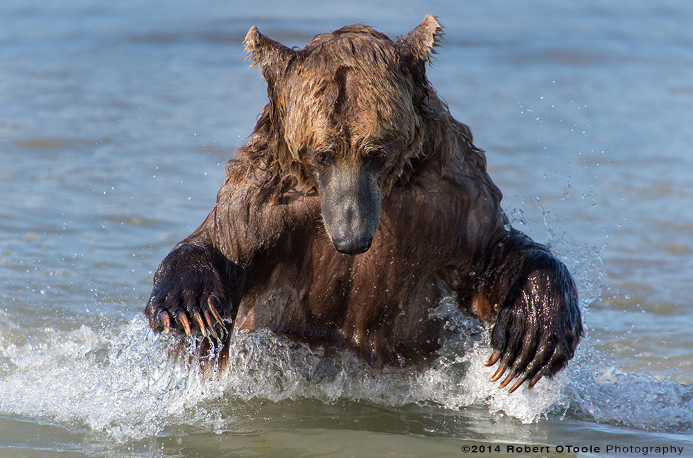 Brown-bear-fishing-hallo-bay-Alaska-Robert-OToole-Photography