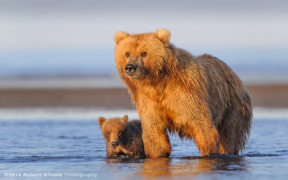 Brown-bear-with-spring-cub-in-perfect-light-hallo-bay-Alaska-Robert-OToole-Photography